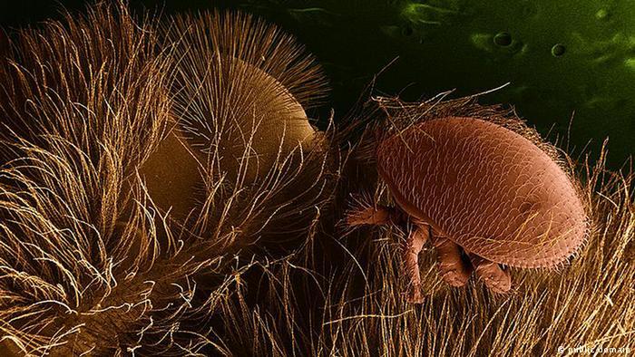 close-up of varroa mites