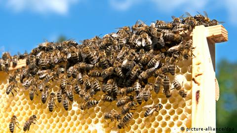 Bienenmonitoring in Brandenburg (picture-alliance/dpa)