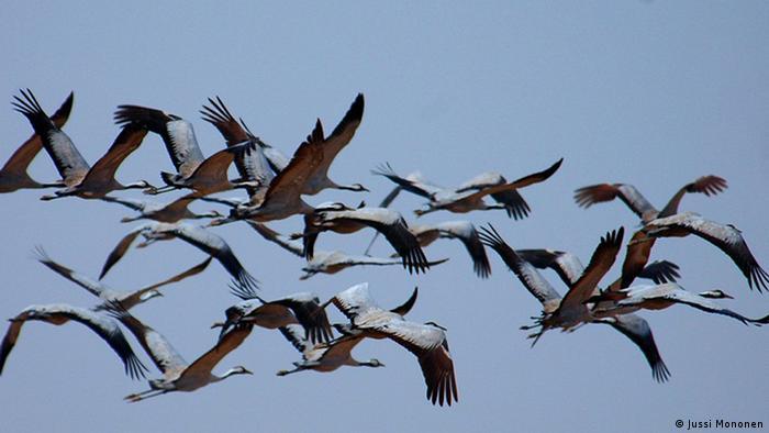 Grupo de grullas en pleno vuelo.