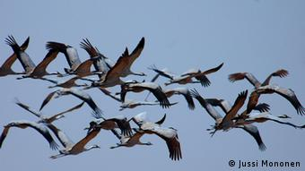 Some migratory birds like these cranes have stayed put in Germany because of the warm temperatures. © Jussi Mononen