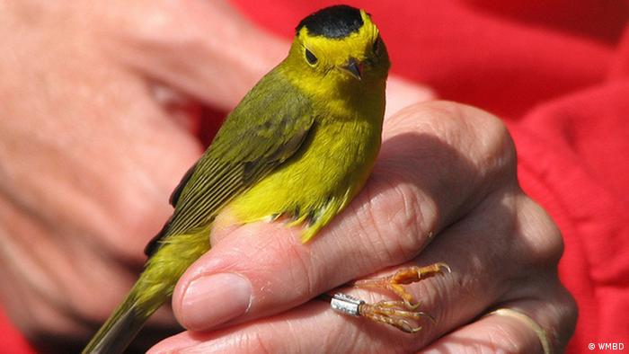 Ein mit einem Fußring markierter Vogel. (Copyright: WMBD)