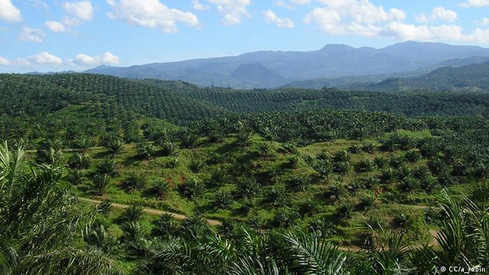 Palm oil plantage Quelle: http://www.flickr.com/photos/artaim/2364883451/ Lizens: http://creativecommons.org/licenses/by/2.0/deed.de View of palm oil plantation in Cigudeg, Bogor (3) +++CC/a_rabin+++, 26. 03. 2008 in Cigudeg, Jawa Barat, Indonesien tags: coolklima, coolpalmoel, Plantage, Abholzung, orang Uta, Lebensraum, Verlust, Industrie, global, baum, Palme, früchte, energie, biosprit, gewinnen, indonesien, ecuador