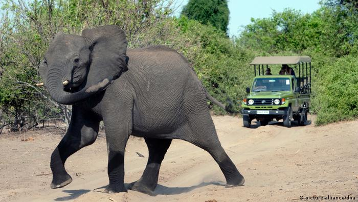 An elephant crossing the path of a tourist vehicle in Chobe National Park in Botsuana