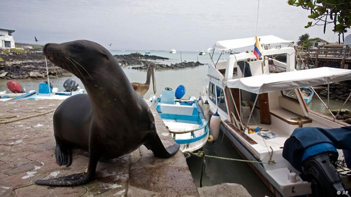 Galapagos seal Photo: AP Photo/Kirsten Johnson