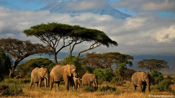 Elephant family in front of Mt. Kilimanjaro © dmussman #34914448