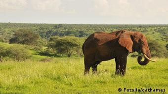 African elephant in the wild © cathames #37898037