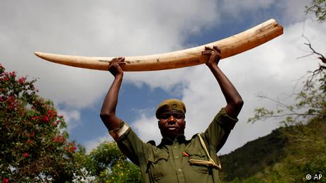 A ranger holds up an elephant tusk in Tsavo National Park in Kenya Photo: ddp images/AP Photo/Karel Prinsloo