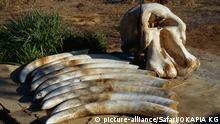 Jagd Säugetiere/Elefanten Afrikanischer Elefant Loxodonta africana African elephant Trophäen Stoßzähne Schädel Tierverarbeitung elephant, hunting Afrika Kalahari Namibia Elefantenjagd Schlagworte Afrikanischer, Elefantenjagd, Jagd, Kalahari, Loxodonta, Namibia, Schädel, Stoßzähne, Säugetiere, Elefanten, Tierverarbeitung, Trophäen, africana, elephant, hunting, undefined