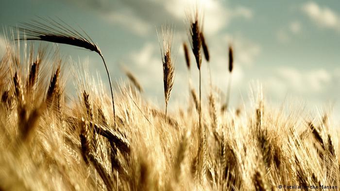 Поле с созревающими зерновыми