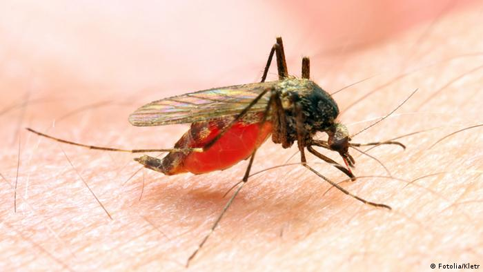 Anopheles mosquito on human skin