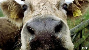 A curious cow looks over a fence in a paddock near Trittau, northern Germany, on Tuesday Nov. 28, 2000. Mad cow disease is a topic after a cow was found infected by it for the first time in Germany. (AP Photo/Michael Probst)