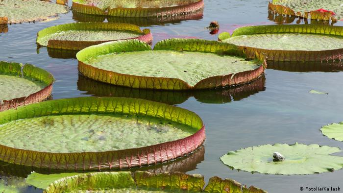 Amazon Water Lily (Fotolia/Kailash)