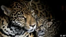 Rosa Salvaje, a jaguar, and her one-week-old cub look on at the National Zoo in Managua, Nicaragua, Thursday, April 7, 2011. (ddp images/AP Photo/Esteban Felix).