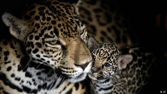 Jaguar and cub at the National Zoo in Managua, Nicaragua (Photo: ddp images/AP Photo/Esteban Felix)