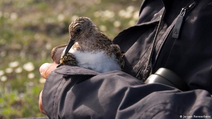 Sanderling auf einem Arm. (Copyright: Jeroen Reneerkens)