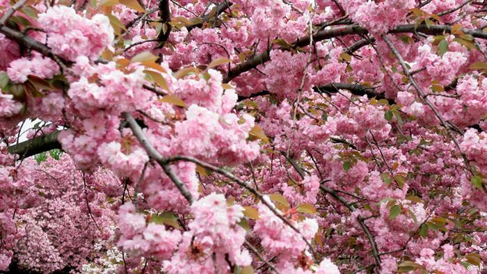 Sakura Blüte (AP)