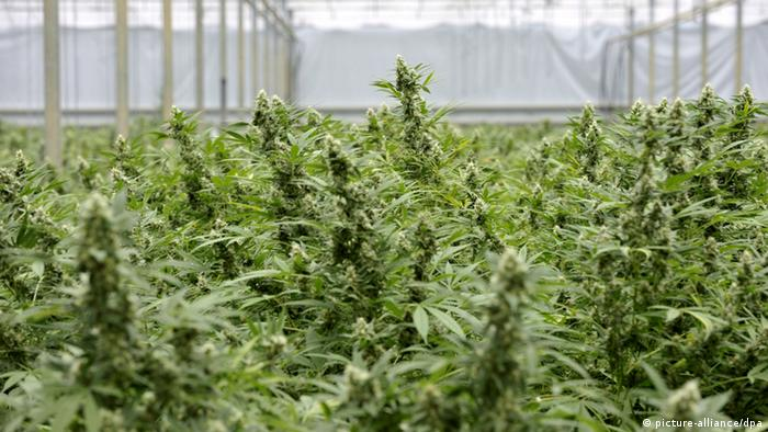 Cannabis plants growing in a greenhouse (picture-alliance/dpa)