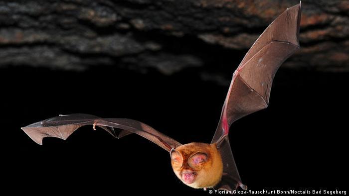 تعد بعض أنواع الخفافيش العائل الأصلي لفيروس نيباه