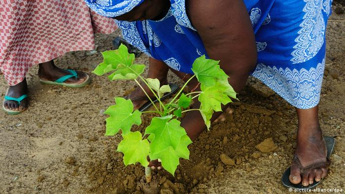 Women of the village plant jatropha young trees (Photo EF/Afrimages/Maxppp, dpa)