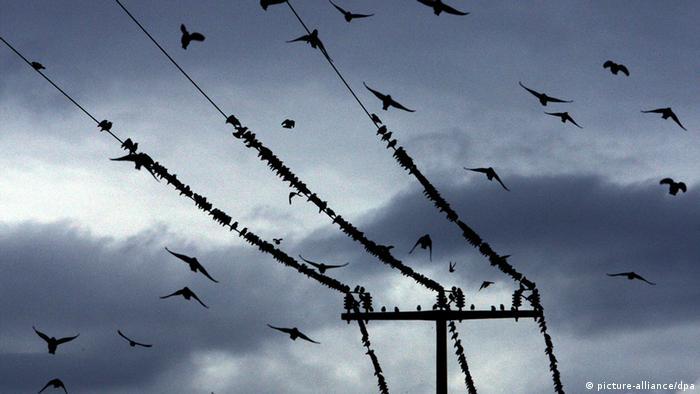 Stare sammeln sich auf einer Stromleitung. (Copyright: dpa - Bildfunk)