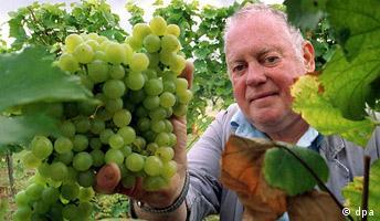 Feldhüter Reinhold Wiedemann erntet am 21.8.2002 in Neustadt-Mußbach den ersten neuen Wein der Rebsorte Ortega.