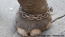 Elefant, Elefantenfuß, Gefangenschaft, Kette, Naturschutz, Tier, Tierschutz, Umweltschutz #32188542 Copyright: kingmajet - Fotolia.com