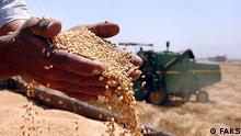 Titeil: Weizen Bildbeschreibung: in viele Regionen im Iran sind die Bauern schon dabei ihr Frühlingsweizen zu ernten. Staatlich garantierte Einkaufspreis pro Kilo ist 395 Toman, umgerechnet 16 Cent. Dadurch geht die Rechnung für die Bauern nicht auf. Preissteigerung in allen Bereichen von der Saat bis zum Transport macht aus dieser Ernte für die Bauern eine Minus - Ernte. Es droht eine Pleitewelle. Viele Bauern wollen in nächste Jahr auf rentablere Produkte umsteigen. Stichwörter: Iran, Weizen, Bauern, Landwirtschaft, Wirtschaft