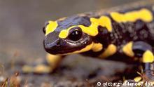 Bildergalerie Amphibiensterben Feuersalamander