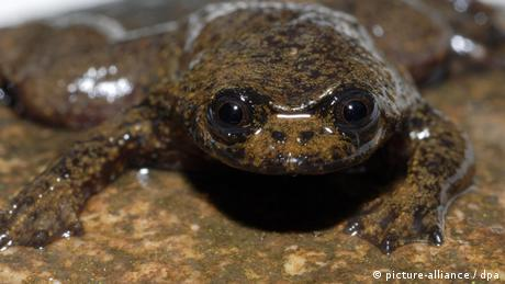 A Bornean flat-headed frog (Photo: David Bickford)