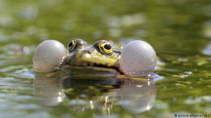 Bildergalerie Amphibiensterben Grünfrosch