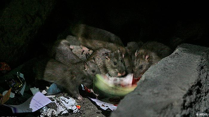 Ratten im Iran