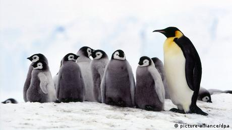 Emperor pinguin with baby pinguins (Picture: picture-alliance/dpa)