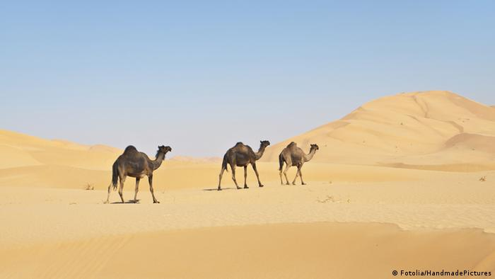 Three camels in the Oman desert (Photo: HandmadePicture)