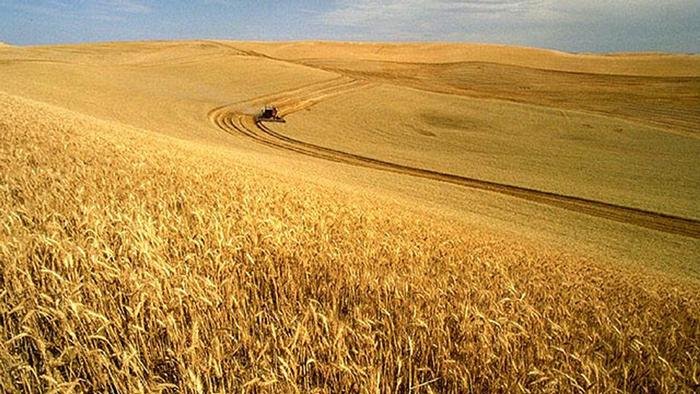 Wheat harvest on the Palouse, Idaho, USA. (Photo: Wikipedia Link: http://commons.wikimedia.org/wiki/File:Wheat_harvest.jpg?uselang=de)