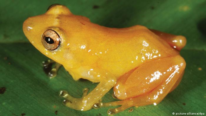 A yellow dyer frog (Photo: Andreas Hertz)