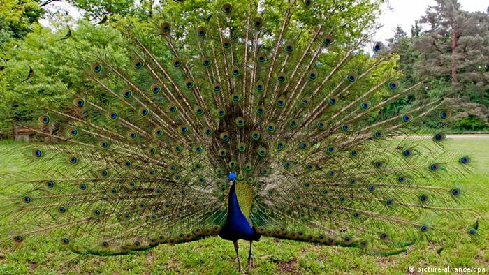 A peacock on Peacock Island (picture-alliance/dpa)