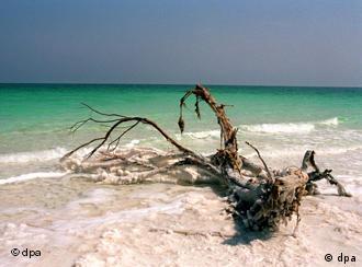 Mangelware Süßwasser - salzverkrustete Baumwurzel am Westufer des Toten Meeres