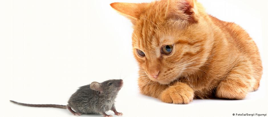 Ratos infectados com o parasita que causa toxoplasmose se comportam de maneira estranha