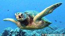 ARCHIV - Eine Grün-Schildkröte schwimmt in einem Korallenriff (undatiertes Handout). Auch wenige Stunden vor ihren Abschluss ist bei der UN-Konferenz zum Schutz der biologischen Vielfalt im japanischen Nagoya noch kein Durchbruch gelungen. Am Konferenzort wurde am Freitag (29.10.2010) erwartet, dass Gastgeber Japan nach den zweiwöchigen Beratungen nun einen eigenen Vorschlag für ein Protokoll vorlegt, um ein Scheitern der zweiwöchigen Verhandlungen zu verhindern. Foto: Ursula Keuper-Bennett dpa (zu dpa 0069 vom 29.10.2010) +++(c) dpa - Bildfunk+++