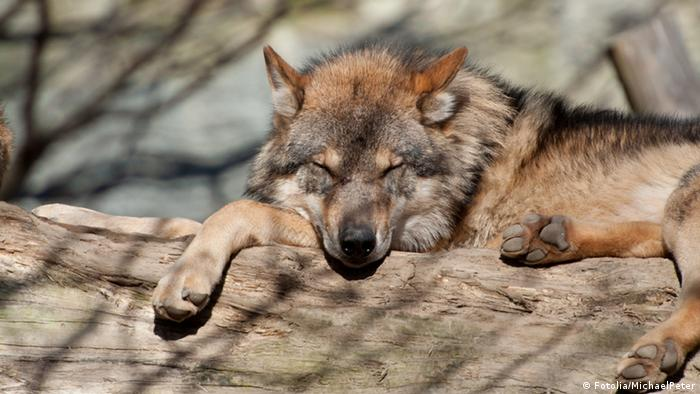 A wolf, sleeping on a log © MichaelPeter #29807591 - Portfolio ansehen