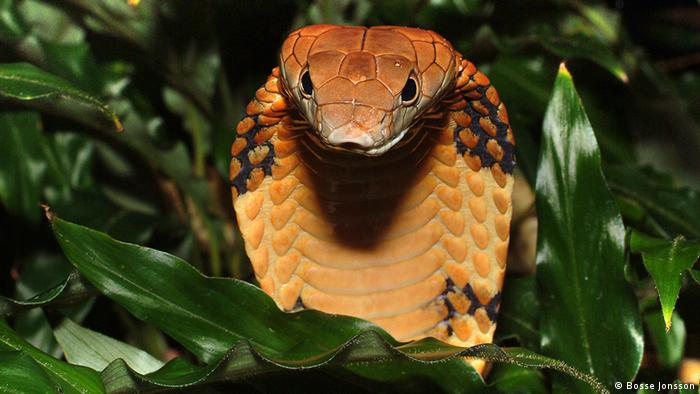 King Cobra (Ophiophagus Hannah), Vulnerable; The world's largest venomous snake; Credit: Bosse Jonsson***Pressebild nur für die aktuelle, themengebundene Berichterstattung