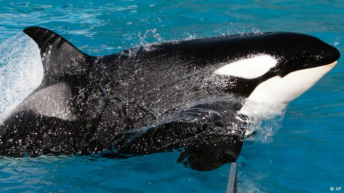 Kasatka the killer whale performs during SeaWorld's Shamu show, Thursday, Nov. 30, 2006, in San Diego. Trainer Ken Peters remains hospitalized after suffering a broken foot when Kasatka dragged him underwater twice during a show on Wednesday. (ddp images/AP Photo/Chris Park)