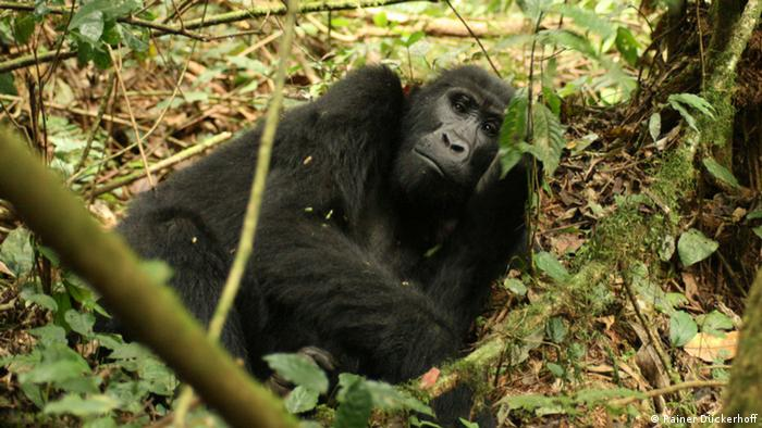Mountain gorilla (photo: Rainer Dückerhoff)