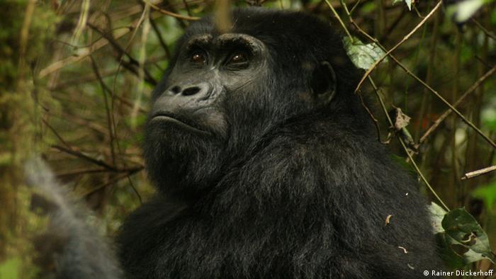 Mountain gorilla in Uganda Photo: Rainer Dückerhoff