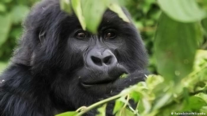Berggorilla im Virunga Nationalpark in Ruanda