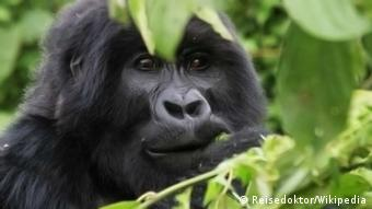 Mountain gorilla in Virunga National Park