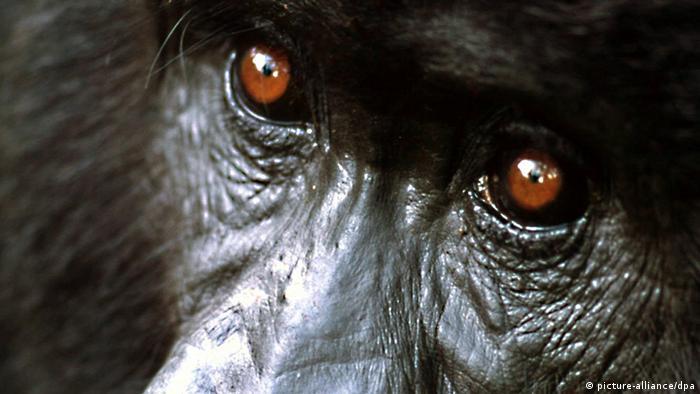 Berggorilla im Virunga Nationalpark in Ruanda