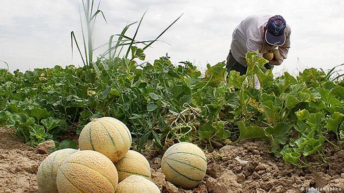 مزارع طالبی در ورامین