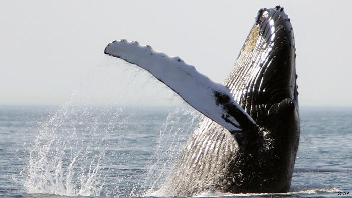 A humpback whale breaches on Stellwagen Bank about 25 miles east of Boston, Monday, Aug. 22, 2005. The area around Stellwagen Bank is designated as a national marine sanctuary. (ddp images/AP Photo/Michael Dwyer).