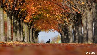 Nebelkrähe im Herbst